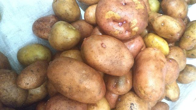 Картопля домашня. Картошка. Картофель.