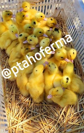 Мулард бройлер цыплята гусята индюшата комбикорм доставка