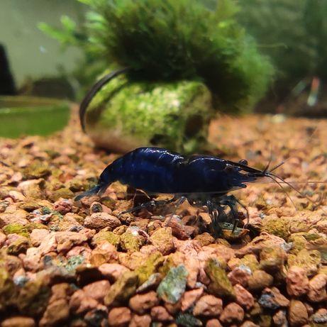 Krewetki Blue Velvet, mocny kolor. Krewetka niebieska.