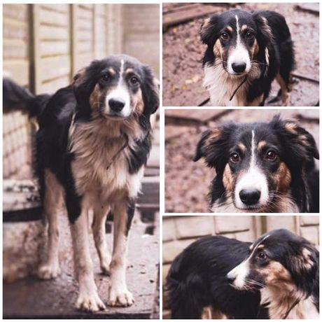 Пес Норд, красивая собака, 1,5 года, привит, кастрирован