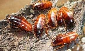 Туркменские тараканы живой корм для рептилий