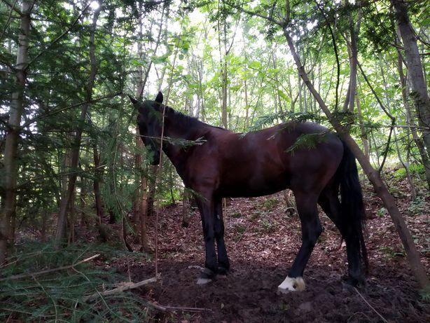 Продам молодого коня 4 рокі