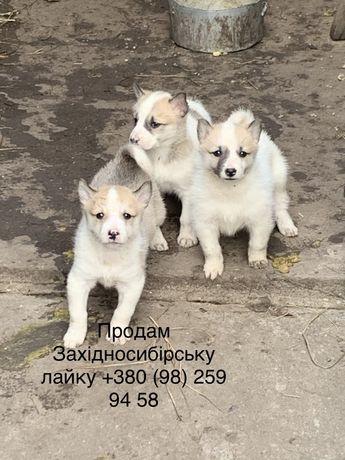Продам Західносибірську/За́падносиби́рская ла́йка