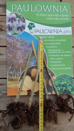 Paulownia mini stump Oferta