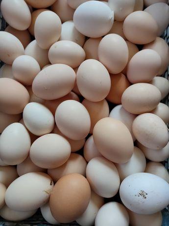 Курочки несушки и домашнее яйцо в продаже