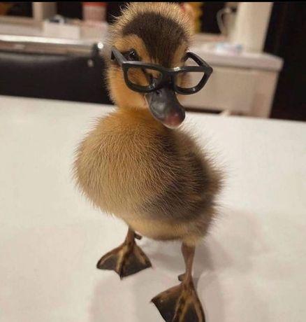 Недельные  Цыплята Несушки Курочки Мастер Грей+Доминант
