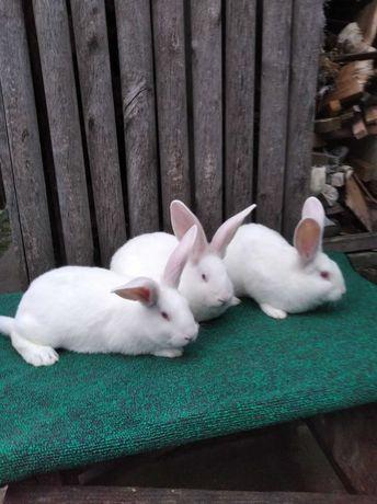 Продам кролі термондської породи