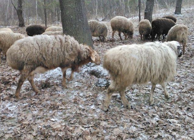 Курдючные бараны (валухи) на мясо живым весом