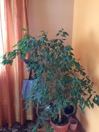 Kwiat (drzewko) fikus benjamin
