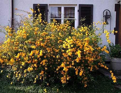 Керрия – японская роза в вашем саду.