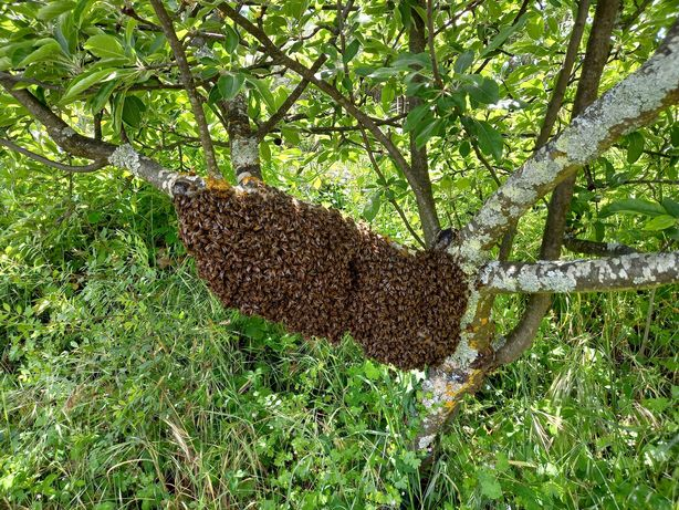 ABELHAS . Enxames grandes tratadas contra varroa