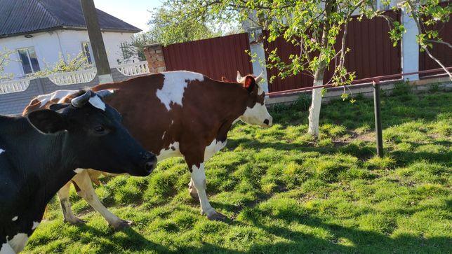 Продам молоді корови