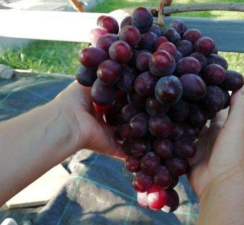 Корнесобственные саженцы винограда