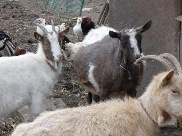 sprzedam zdrowe kozie mleko Gliwice Ostropa