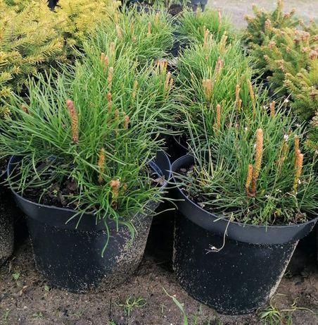 Pinus Mugo Kosodrzewina