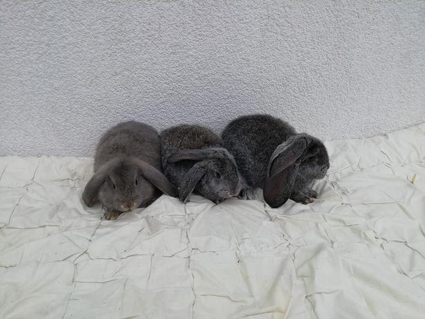 Królik - króliki Baran francuski