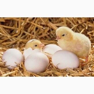 Инкубационное яйцо бройлера РОСС 308 (Венгрия)