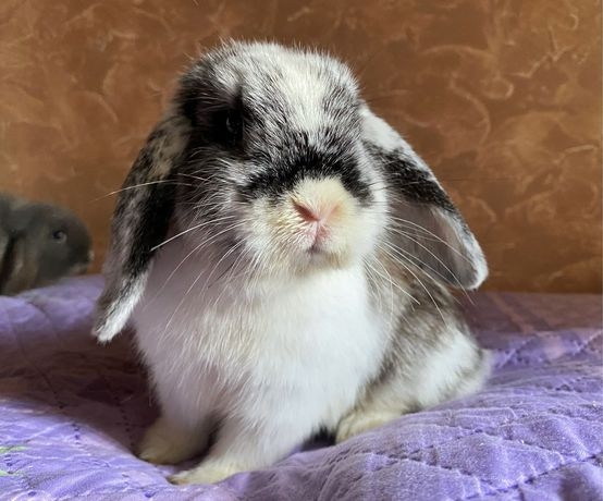 Вислоухий декоративный кролик, голубой мраморный окрас