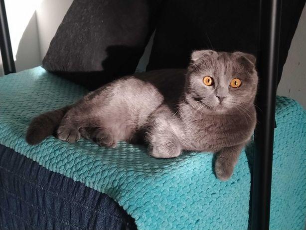 Gato scottish fold procuro namorada