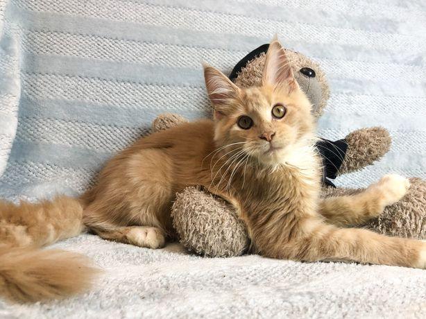Мейнкун котенок - мальчик