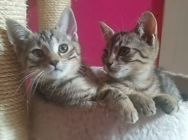 PILNE !!! Dwa cudne kochane kocurki szukają domu na zawsze