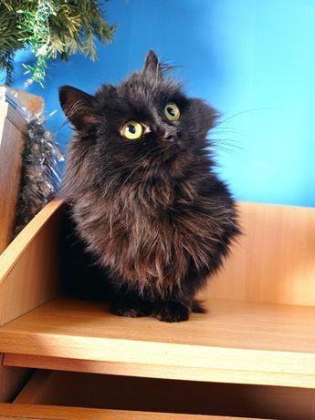 Черная пушистая очаровательная кошка ищет дом