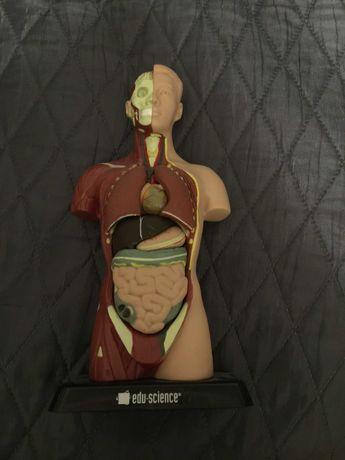 Modelo do corpo humano desmontável