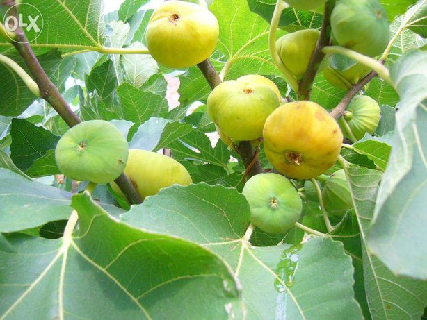 Продам саженцы, взрослые деревья инжира (плодоносящие)