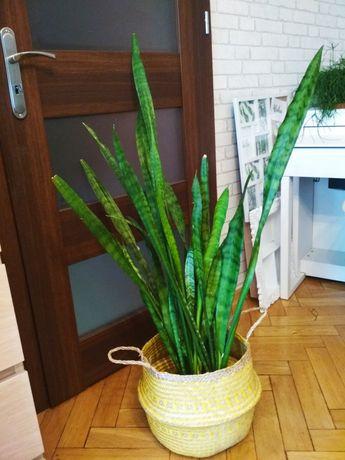 Sansevieria sansewieria żywa roślina prezezent oczyszcza ogromna!
