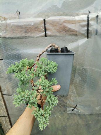 """Vendo Projeto (Pré-Bonsai) de """"Juniperus Procumbens Nana"""""""