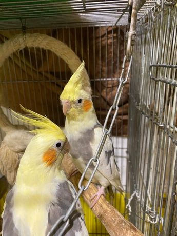 Любимый хохлатый домашний попугай корелла