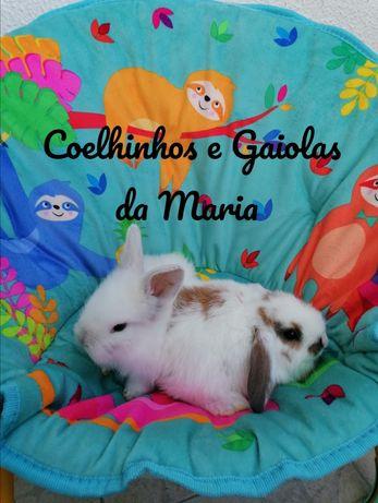 KIT Coelhinhos Anões Mini Toy, Mini Holandêz, Tedy, Belier (Orelhudo)