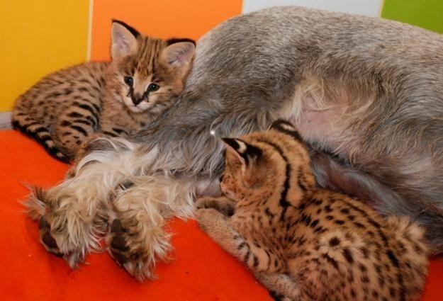 Ручные сервалы – домашние мини леопарды– элитные дикие кошки