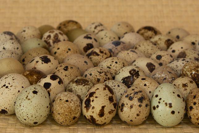 Jaja przepiórcze konsumpcyjne i lęgowe