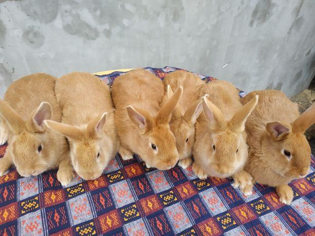 Кролики,кроленята..Продаю як молодняк так і дорослих спарованих самок.