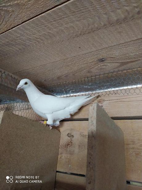 Gołębie pocztowe gołąb LUDO CLASSENS