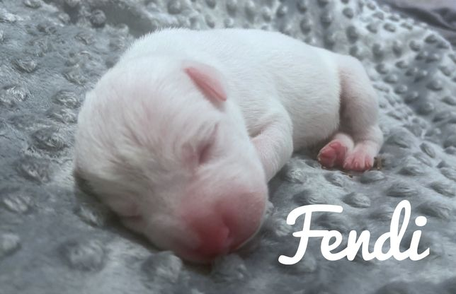 American Staffordshire terier (Fendi)