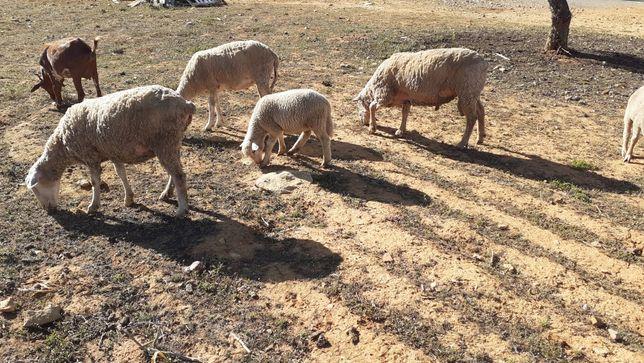 Vendo lote ovelhas e cabras
