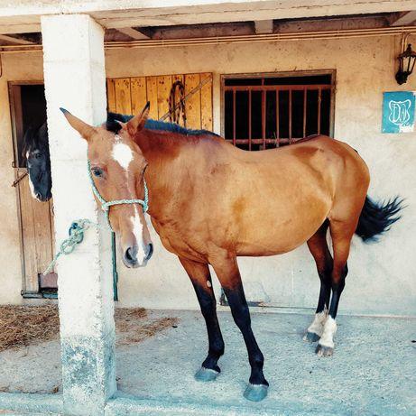 Égua PSL Pontuada