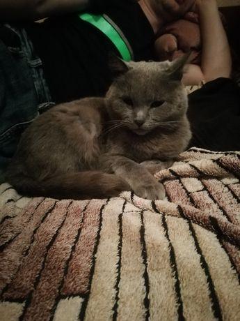 Пропала кошка британка