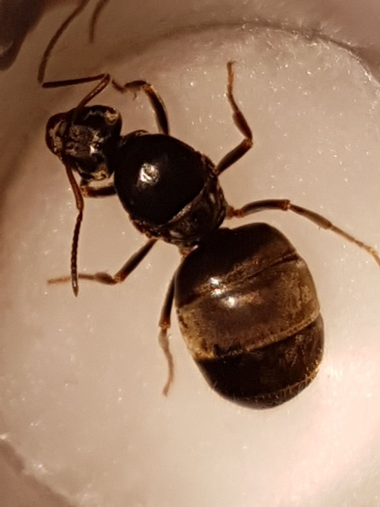 Lasius niger mrówki.