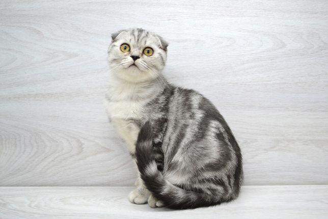 Очаровательная вислоухая малышка1. Котята вислоухие
