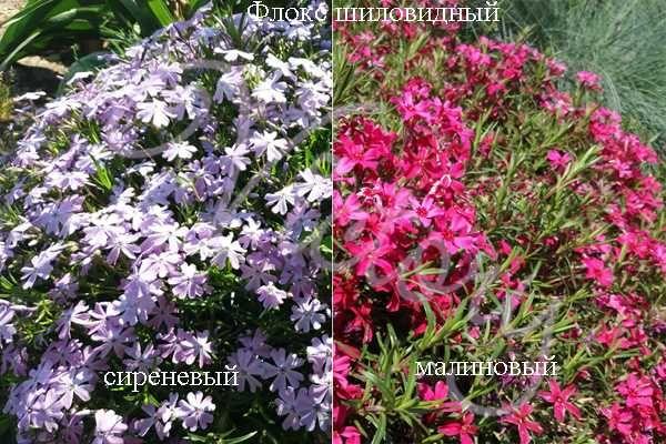 Флоксы шиловидные и метельчатые, растения, цветы