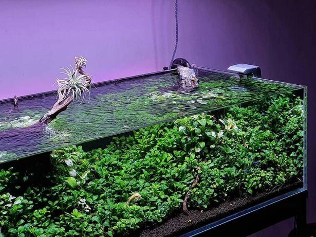 Rośliny akwariowe Anubias Nana Petite OGRYGINAŁ Olsztyn