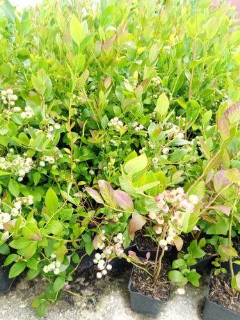 Plantas de mirtilos