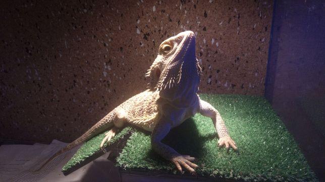 Бородатая агама ( австралийская ящерица)