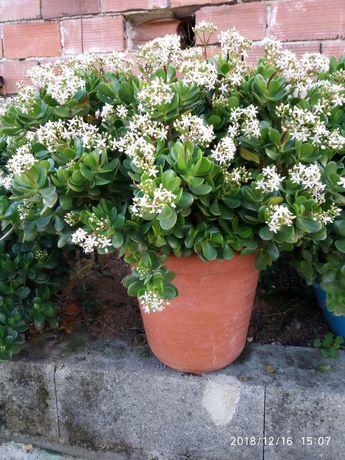 Flor suculentas