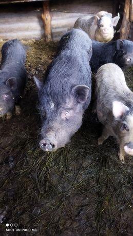 Продам свиней, отдам живым весом