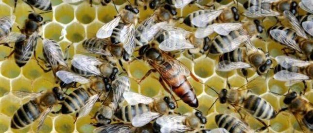 Пчеломатки Украинская степная порода пчел—плодня!
