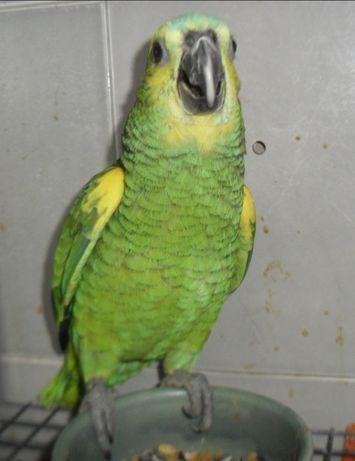 Papagaios Aestiva, criados à mão